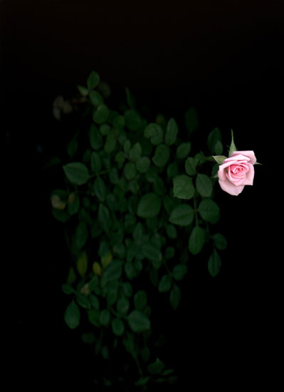 Rose (Rosa Rasaceae), 2018, Pigment Print on Hahnemühle, 42 x 29 cm, Ed. of 3